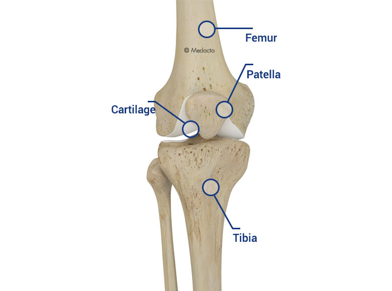 Medacta corporate knee anatomy the cartilage together with a substance called synovial fluid prevents the bones from rubbing against each other and causing damage ccuart Choice Image