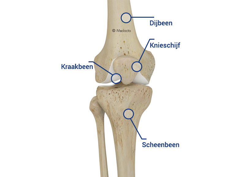 KNIE_ANATOMIE_Flemish_Global_Big